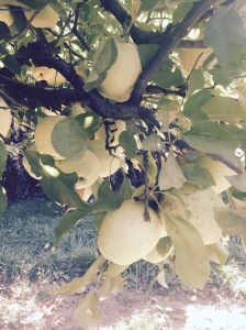 The delicious apples we were picking...now trying to find some GF recipes to use them in.