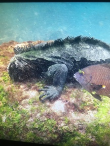 Underwater Iguana on the Galapagos Islands