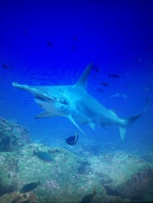 An unclose experience with a hammerhead